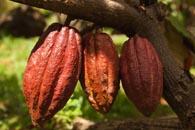 kakao бобы