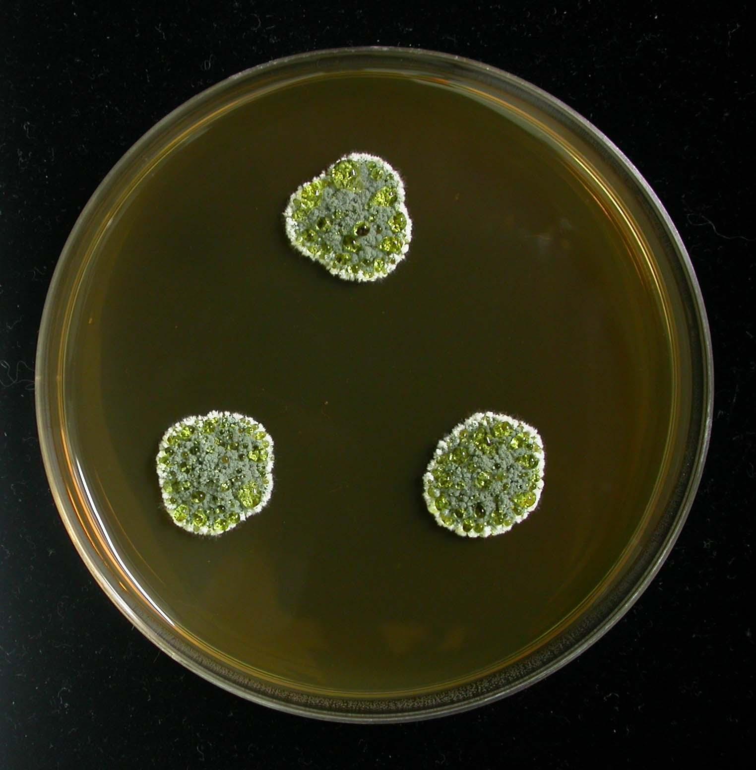 البنسليوم glandicola