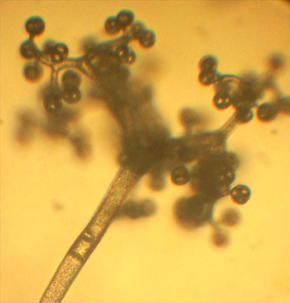 Thavmnidium