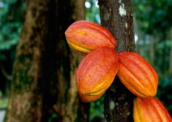 وصف أجزاء من حبوب الكاكاو
