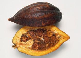 حبوب الكاكاو التخمير