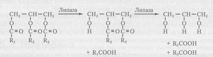 Действие липазы на триглицериды